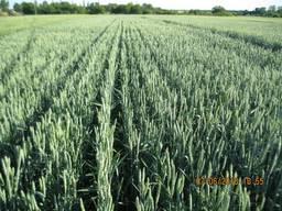 Пшениця -дворучка Гранус (Штрубе, Німеччина)