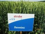 Пшениця-Дворучка Леннокс (Штрубе) - альтернативна пшениця - фото 2