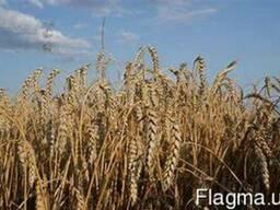 Пшениця Ленокс 1р - фото 1