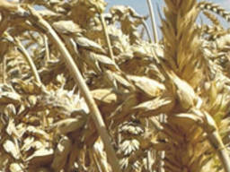 Пшениця озима ВАНЕССА
