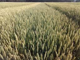"Пшениця Шестизерна від Фермерське господарство ""Бор"""
