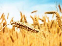 Пшениця/ соя/ кукурудза/ соняшкик
