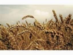 Пшениця Тесла