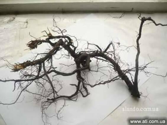 Пятипал корень (лапчатка белая)