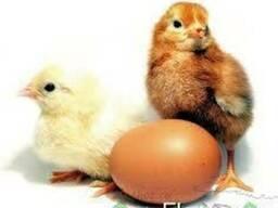 Реализуем суточных яичных цыплят Ломан-Уайт, Ломан-браун.
