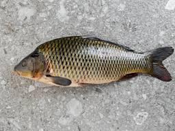 Речная рыба оптом в Украине
