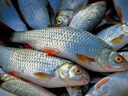 Свежая, мороженная рыба: Плотва Судак Карась Толстолоб Лещ