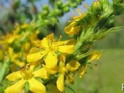 Репешок обыкновенный (Agrimonia eupatoria)