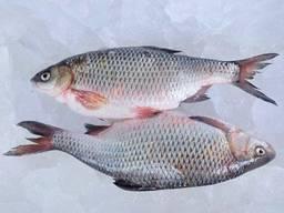 Риба оптом. Річкова риба.
