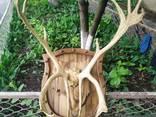 Рога оленя - фото 1