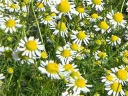 Ромашка лекарственная,цветок.