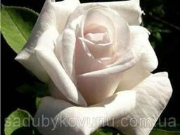 Роза Белуга