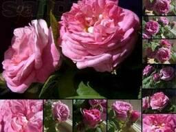 Роза чайная (душистая, ароматная)
