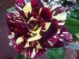 Роза чайно-гибридная Абракадабра - фото 1