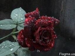 Роза Фиджа Негро