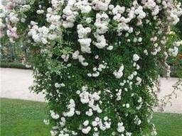 Роза плетистая белая