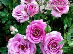 Роза плетистая Climbing Violette Parfumе