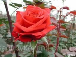 """Роза """"Ред Берлин"""""""