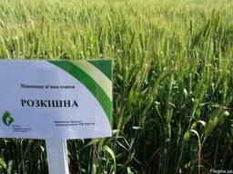 Розкішна пшениця озима насіння