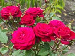 Розы штамбовые, розница и опт, доставка по Украине