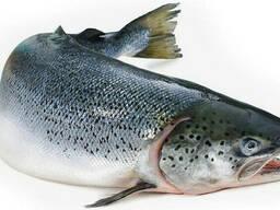 Рыба красная лосось размер 4-5 кг