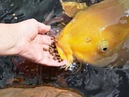 Рыбки, карп кои опт, карп кои цена, нимфеи, jpd, coppens