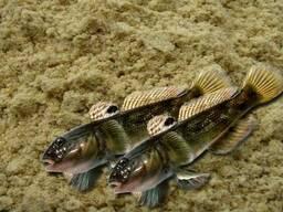 Рыбная мука из цельного азовского бычка