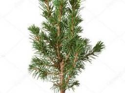 Саджанці хвойних дерев (ялина, смерека, модрина) 0,3-0,5 м