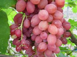 Саджанці сорт винограду Кишмиш променистий, напівупакований