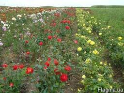 Саджанці троянд роз дуже дешево