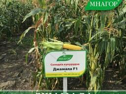 Сахарная Кукуруза ТМ Мнагор Джамала, 100000 семян