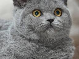 Сандра Скоттиш (котенок)