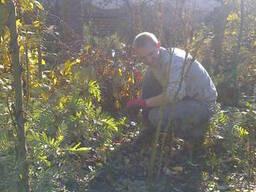 Санитарная обрезка плодовых деревьев. Обрезка сада Киев.