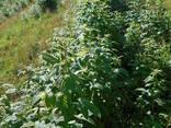 Сажанци малини Полана - фото 1