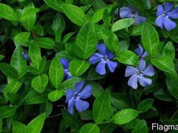Саженцы барвинка голубого оптом