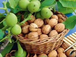 Саженцы грецкого ореха, фундука, кизила, калины, абрикоса.