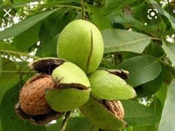 Саженцы грецкого ореха и малины недорого