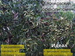 Саженцы грецкого ореха с боковым гроновым плодоношением