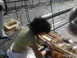Саженцы клубники фриго А . Супер качество - фото 3