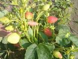 Саженцы клубники непрерывного плодоношения Мурано, Гармония, Монтеррей и др. - фото 2