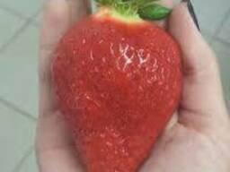 Саженцы клубники Роксана ( Roxana ). Урожай до 1.4 кг/куст!