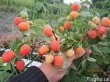 Саженцы малины - фото 5