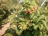 Саженцы малины Квелли - фото 4