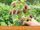Саженцы малины сорт Полка (Polka), полуупакованные - фото 2