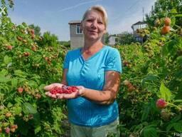 Саженцы малины Таруса,Каскад-Делайт,Люлин малина ремонтантна