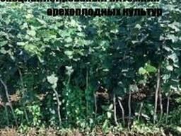 Саженцы Медвежего ореха(Лещина древовидная)