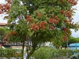 Саженцы Мыльное дерево (sapindus) - фото 2