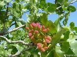 Саженцы орех Фисташки (морозостойкой) орех саджанці горіх - фото 6