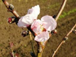 Саженцы Персик пурпурнолистный (Prunus persica purpurea ),