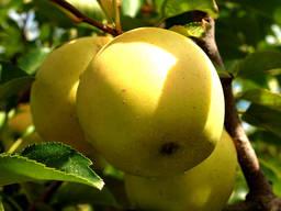 Саженцы плодовых и ягодных культур (Оптом и мелким оптом).